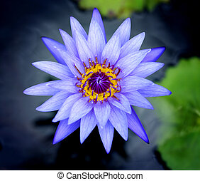 Photos purple water lilies - Photos bright purple water...