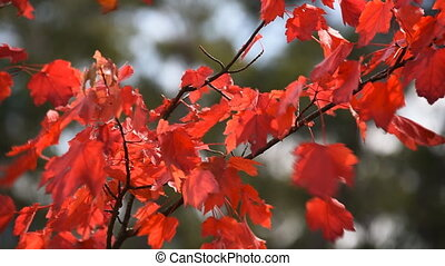 Red maple leaves moving on wind - Autumn red maple leaves...