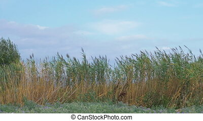 Reeds waving in the wind - Scene with reeds and sky. Plants...