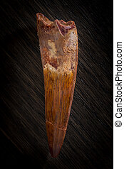 Fossilized Spinosaurus Maroccanus Tooth against wood...
