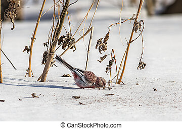 Long-tailed rosefinch eats seeds weed