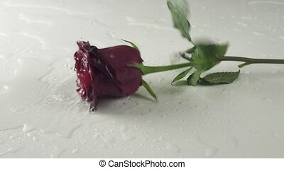 Red rose falling on white background with water slow motion