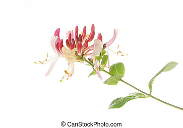 Honeysuckle flower and foliage against white