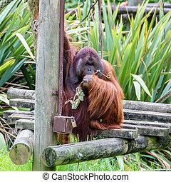 Bornean orangutan (Pongo pygmaeus) having the food on the...