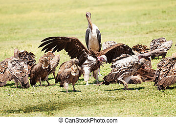 Marabou standing in the middle of vultures flock - One...