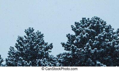 Bushy Trees In Blizzard - Large bushy pine trees in heavy...