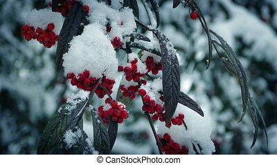Berry Bushes In Winter With Snow Falling - Branches with...