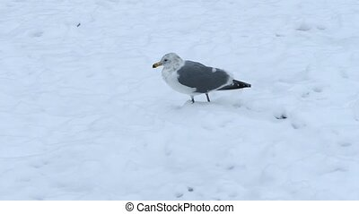 Seagull Walking In The Snow - Seagull walks around in thick...