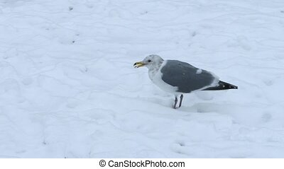 Seagull Pecking For Food In The Snow - Seagull pecks at...