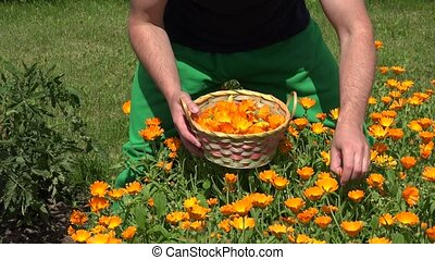 gardener guy hands gather marigold herb flower bloom to...