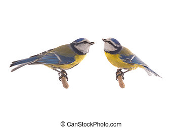 Two Eurasian Blue Tit