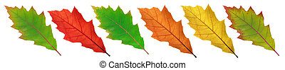 colorful leaves of red oak on a white background