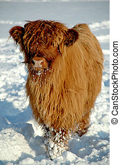 Cow - Young cow at winter time
