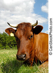 Cow face - Cow is resting on a green field. You can see the...