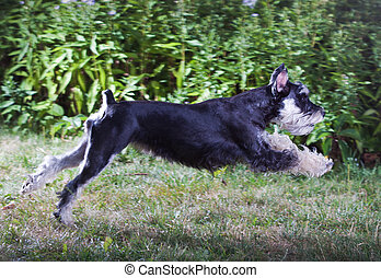 Miniature Schnauzer - Running dog breed Miniature Schnauzer