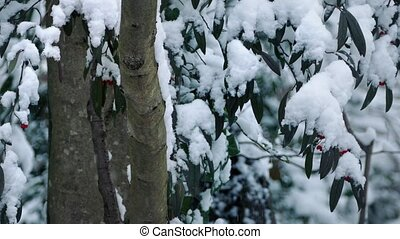 Trees With Berries In Snowfall - Tree trunks and branches...