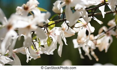 Flowers of white magnolia. Bloom. - Beautiful view of...