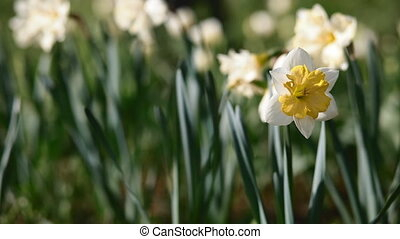 Bloom of narcissus in the garden in evening light. Place for...