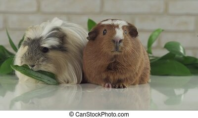 One guinea pig eating cucumber and second thought stock...