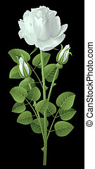 Rose - White rose on a black background