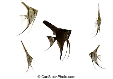 Five scalar fish swimming. Taken on a clean white background
