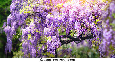 Wisteria dream in purple - Dreamy garden shot of wisteria...