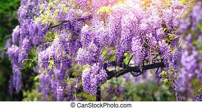 Wisteria dream in purple - Dreamy garden shot of wisteria...