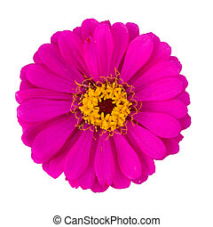 rose red zinnia elegans isolated on white with clipping path