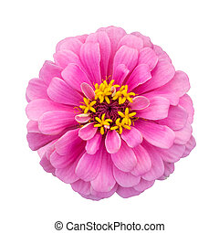 pink zinnia elegans isolated on white with clipping path