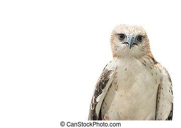 Portrait of beauty hawk,Changeable Hawk Eagle (Nisaetus...