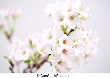 Cherry blossom , Sakura flower isolated in whte background