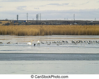 Two swans, seagulls and ducks on winter lake - Two swans,...