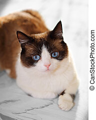 snowshoe cat portrait