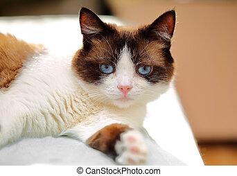 snowshoe cat portrait