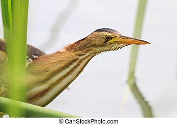 Ixobrychus minutus with long neck,waterbirds, rare bird, a...