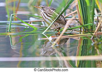 Little bittern young birds,waterbirds, rare bird, a bird...