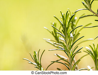 Branch of Rosemary, aromatic herb