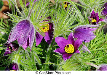 pasque flower 13