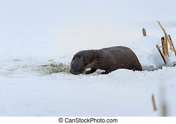 european otter (lutra lutra) in winter. Location: Comana...