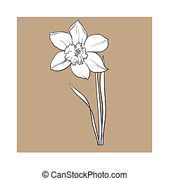 Single yellow daffodil, narcissus spring flower with stem and leaves