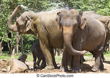 Sri Lankan Elephants - Image of elephants at...