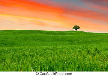 Tuscany landscape, beautiful green hills and lonely tree...