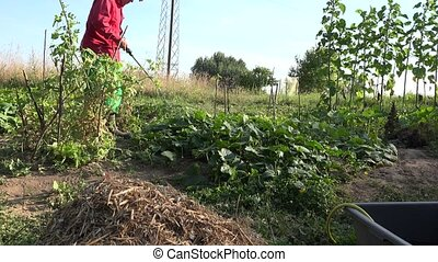 Farmer cowboy man spraying cucumber vegetables in farm. 4K -...