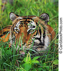 Bengal Tiger - Bengal tiger in the grasses