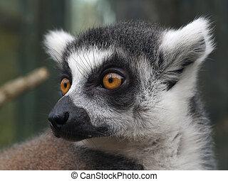 Lemur catta - Detail of head of lemur catta