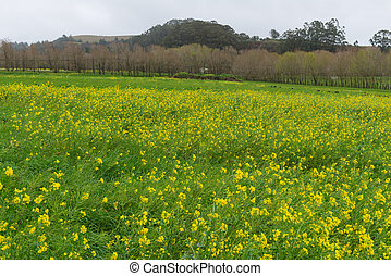 Pasture with wildflowers after heavy rains, Pescadero,...