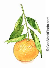 Tangerine fruit illustration - Hand drawn watercolor...