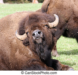 American Bison/Buffalo. Photo taken at Northwest Trek...