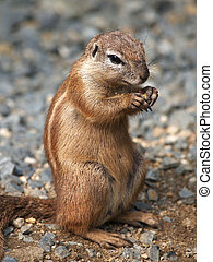Cape ground squirrel - Portrait of earting cape groun...
