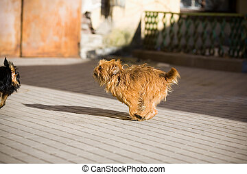 Redhead, hairy dog running on the street for the black dog
